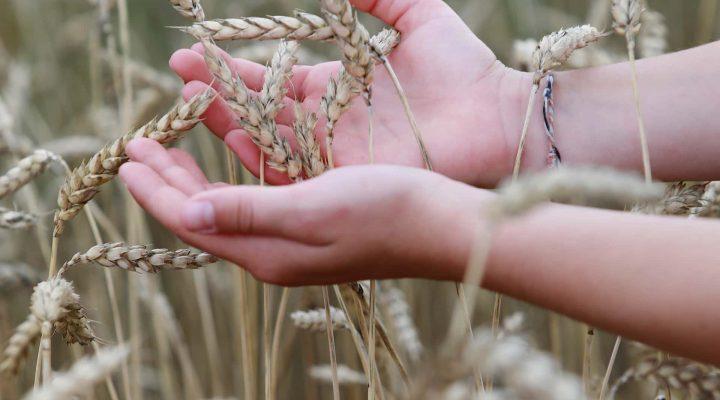Getreideernte in der Schule